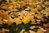 Autumn - yellow leaves
