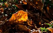 pic of elm  - Elm dry leaf lying on ground in a forest is beautifully highlighted by late sun light - JPG