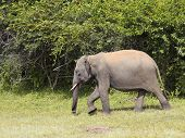 Young Tusker