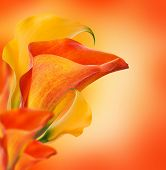 Bright buds callas, floral background