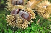 Chestnuts On The Soil