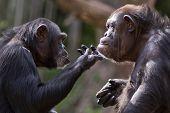 chimpanzee couple