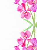 Vanda orchid flowers