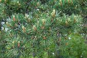 Natural Background. Fresh Cones On A Pine Branch In Early Summer