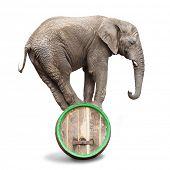 African elephant balancing on a beer barrel.