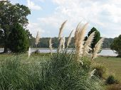 picture of cattail  - close up of cattails while looking across the lake - JPG
