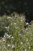 Horseweed Plant