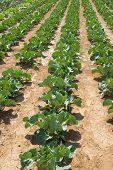 Vegetable Plantation