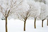 Frozen Willow Trees