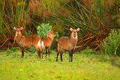 Family Of Waterbuck