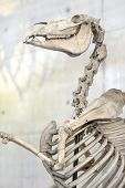 Horse Skeleton. Bones