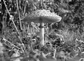Parasol Mushroom At Ground Level