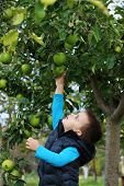 pic of orchard  - Little toddler boy of two years picking apples in an orchard.