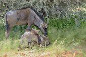 Two Blue Wildebeest Calves