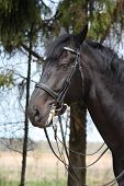 pic of bridle  - Portrait of black sport horse with leather bridle