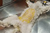 Shaved Dog Under Anesthesia Prepared For Sterilization Operation