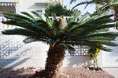 Close Up Sago Palm Tree Outside The House