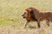 Lion Close Up Against Grass Background