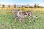 The Two Cheetahs