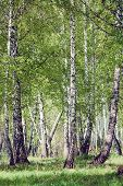 Green Birch Forest In Summer Sunny Day