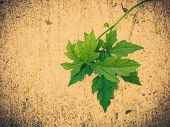 pic of climber plant  - vine leaves climber plant over grunge wall with vintage filter effect - JPG