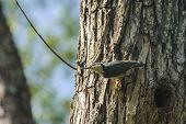 Nuthatch, Sitta europaea, single bird on tree