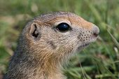 stock photo of gopher  - young nosy gopher in the middle green grass - JPG