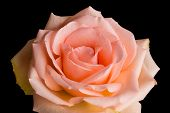 picture of blush  - A rose with blushing pink peach colored petals blooms isolated against a dark black background - JPG