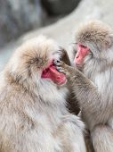 image of macaque  - funny fluffy Japanese macaques with red faces enjoying life - JPG