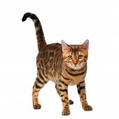 bengal cat standing on white