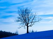 Tree silhouette in winter evening