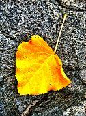 Fall leaf on rock