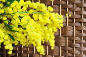 Mimosa on wicker background
