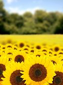 beautiful sunflowers in a sunny day poster