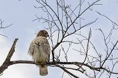 stock photo of hawk  - Hawk sitting on the branch of tree and looking out for food - JPG