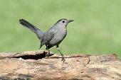 Gray Catbird (dumetella Carolinensis) On A Log