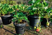 pic of strawberry plant  - closeup of strawberry plants potting in the garden - JPG