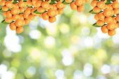 stock photo of tangerine-tree  - Branches with the fruits of the tangerine trees - JPG