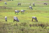 pic of prairie  - Local Thai cow in prairie in sunshine day - JPG