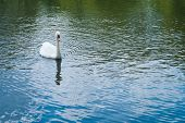 Swan in a water pond