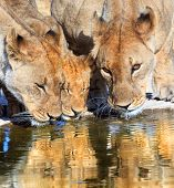 Three lions drinking