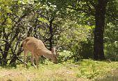 picture of black tail deer  - Male  - JPG