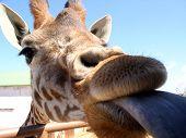 beso de la jirafa