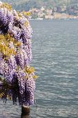 Wisteria In Front Of The Lake