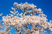A beautiful cherry tree at full blossom against a clear blue sky.