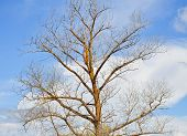 stock photo of bare-naked  - Bare crown of the deciduous tree in a sunny spring day - JPG