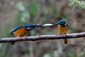 picture of mating  - two kingfishers on branch in mating season  - JPG