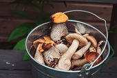 picture of gathering  - wild edible orange and brown cap boletus mushrooms gathered in can - JPG
