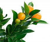 pic of tangerine-tree  - Tangerine tree branch close up  isolated on white background - JPG