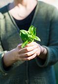 pic of oregano  - Woman hands with fresh just picked oregano twig - JPG